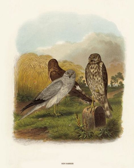 Fine Art Print of the Hen Harrier by O V Riesenthal (1876)